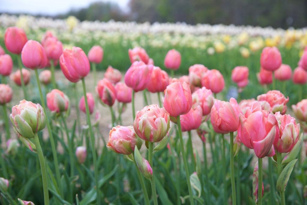 c.chitnis-wicked-tulip_7960-1024x683.jpg