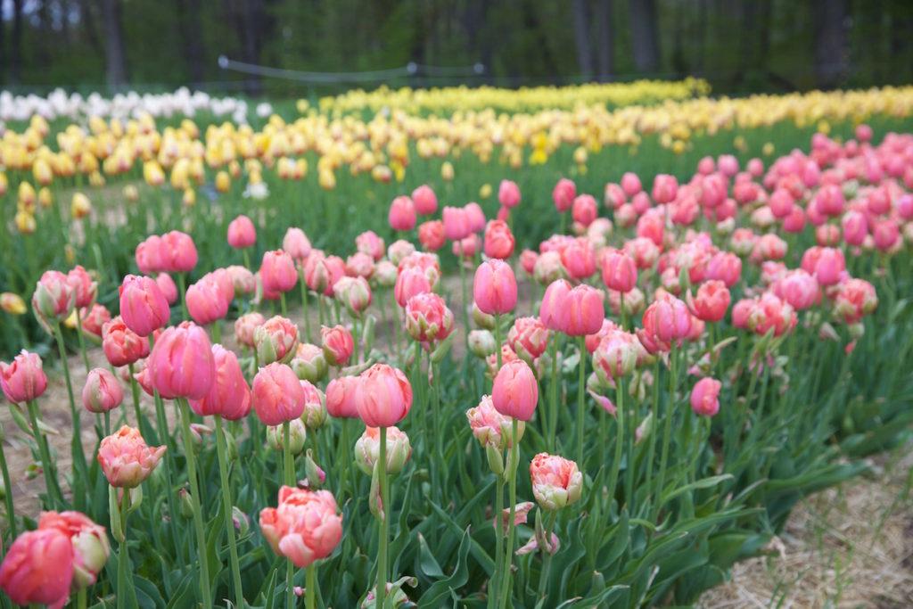 c.chitnis-wicked-tulip_7961-1024x683.jpg