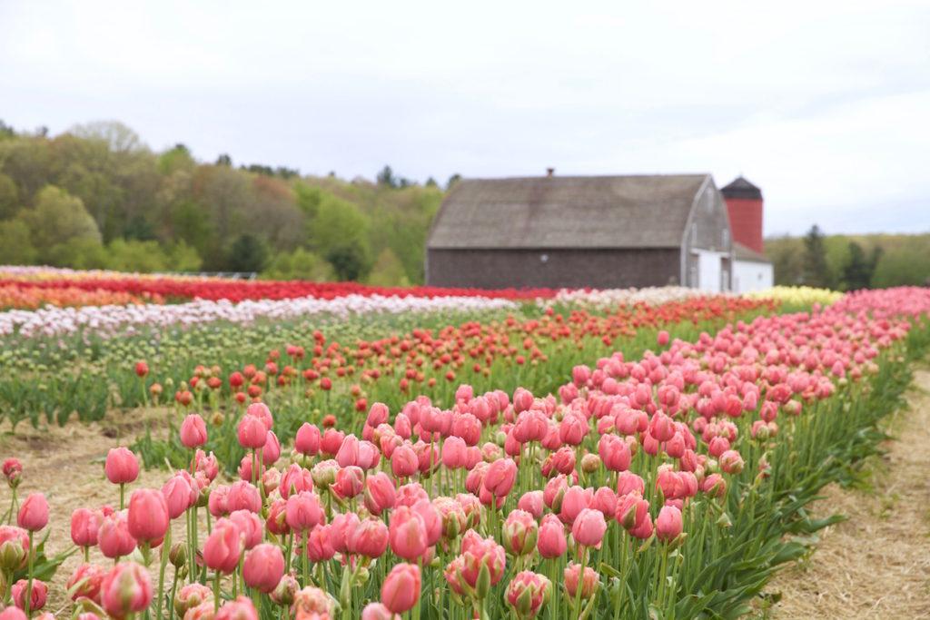 c.chitnis-wicked-tulip_7969-1024x683.jpg