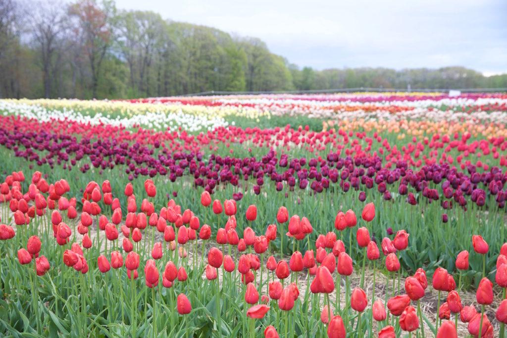 c.chitnis-wicked-tulip_8051-1024x683.jpg