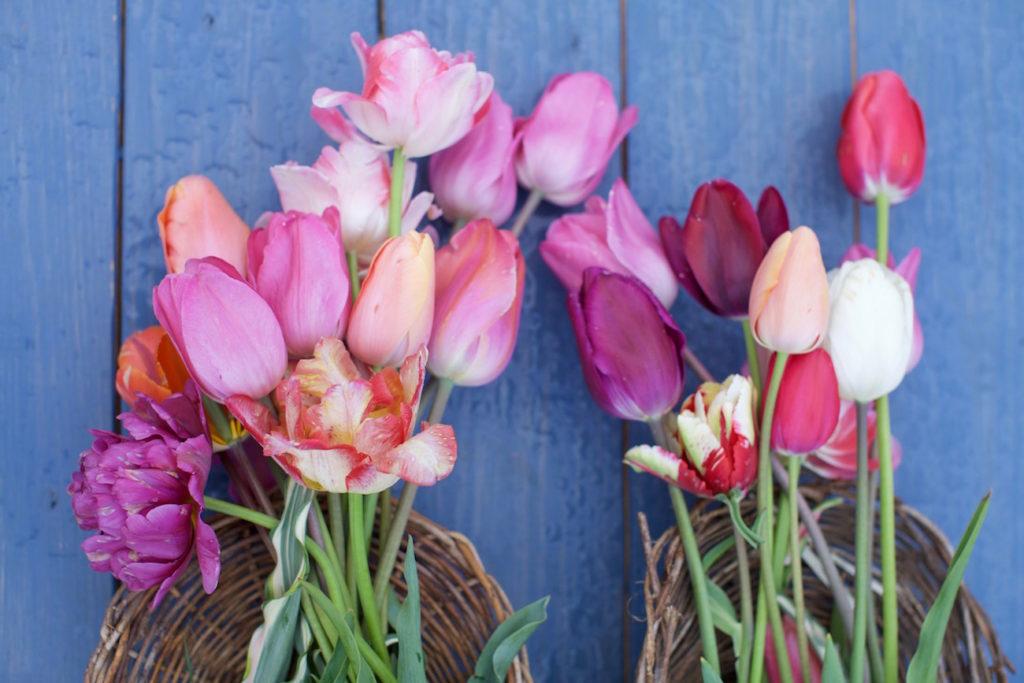 c.chitnis-wicked-tulip_8059-1024x683.jpg