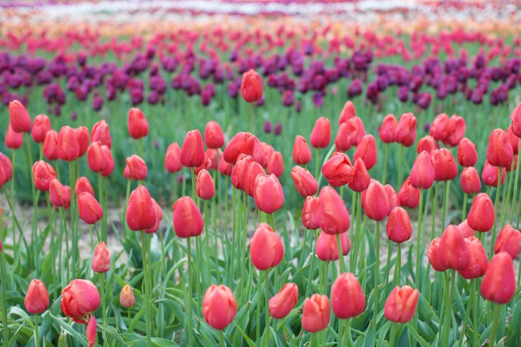 c.chitnis-wicked-tulip_8065-1024x683.jpg