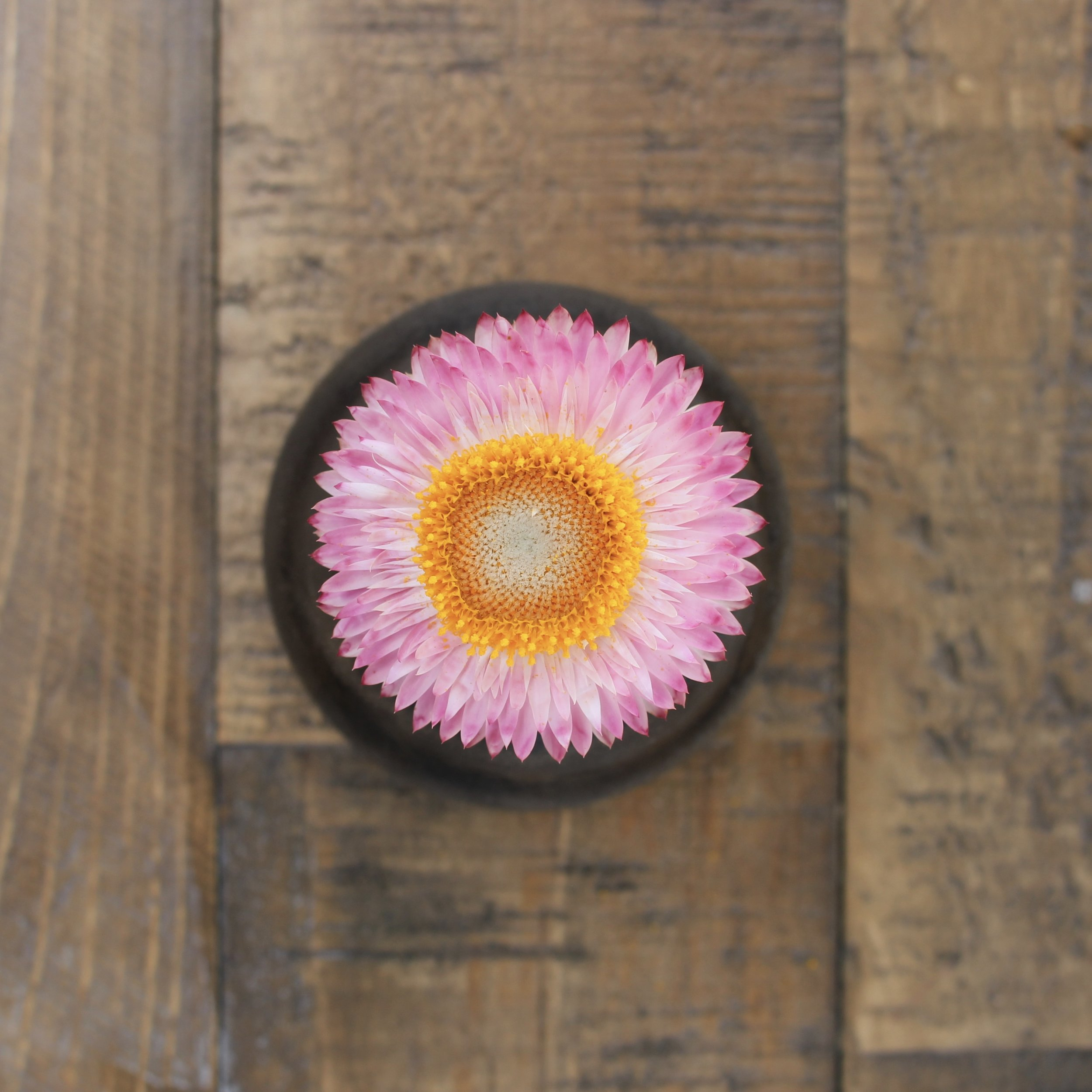 Strawflower, silvery rose - Now available