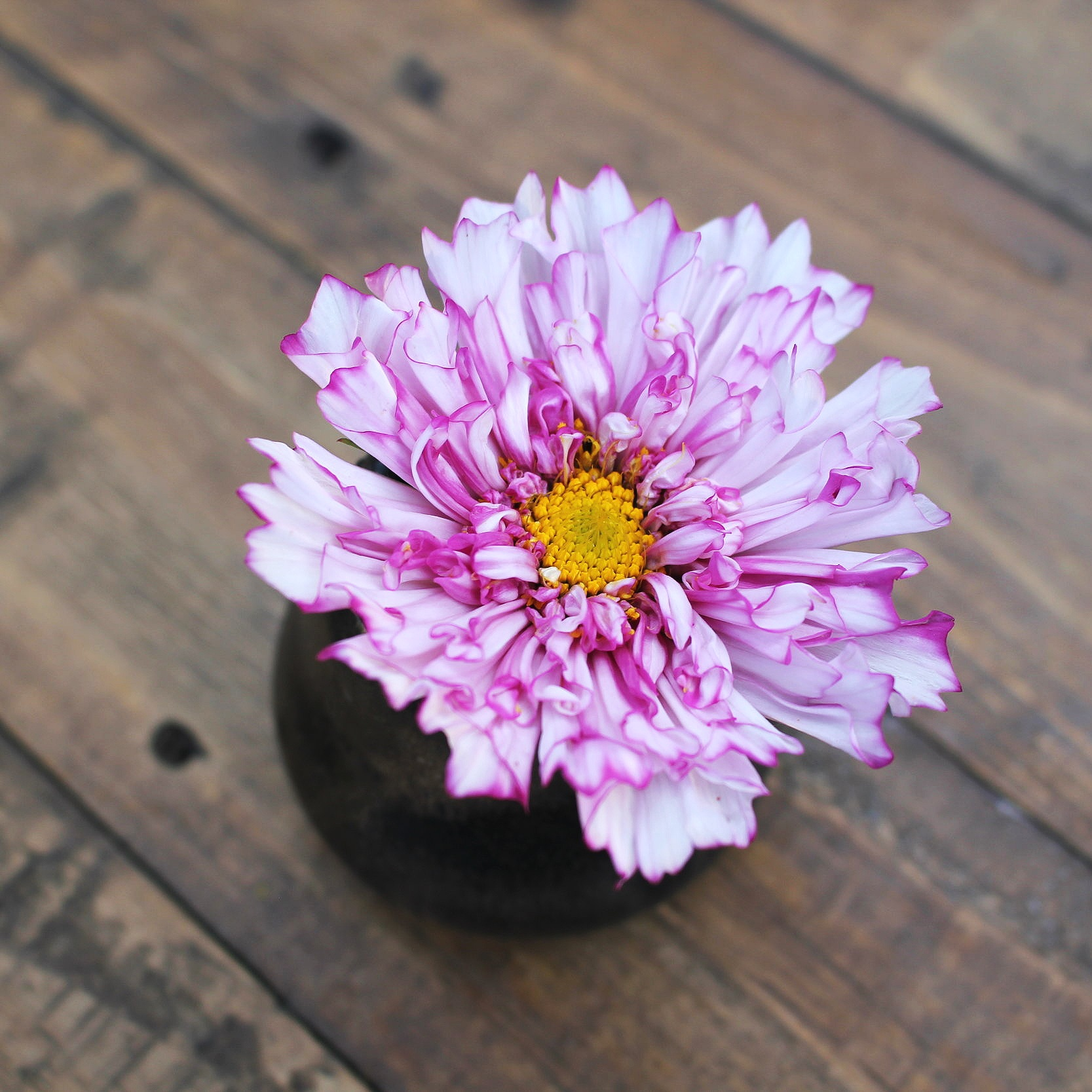 Cosmos, Double Click Rose - Now available