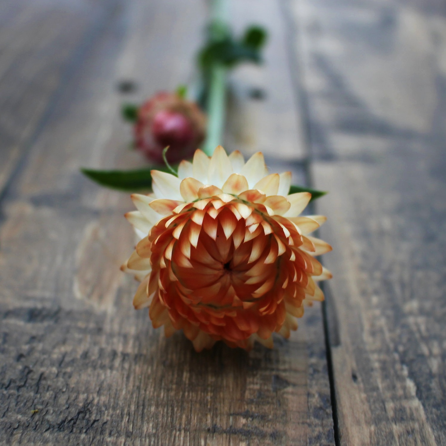 Strawflower, Apricot - Now available