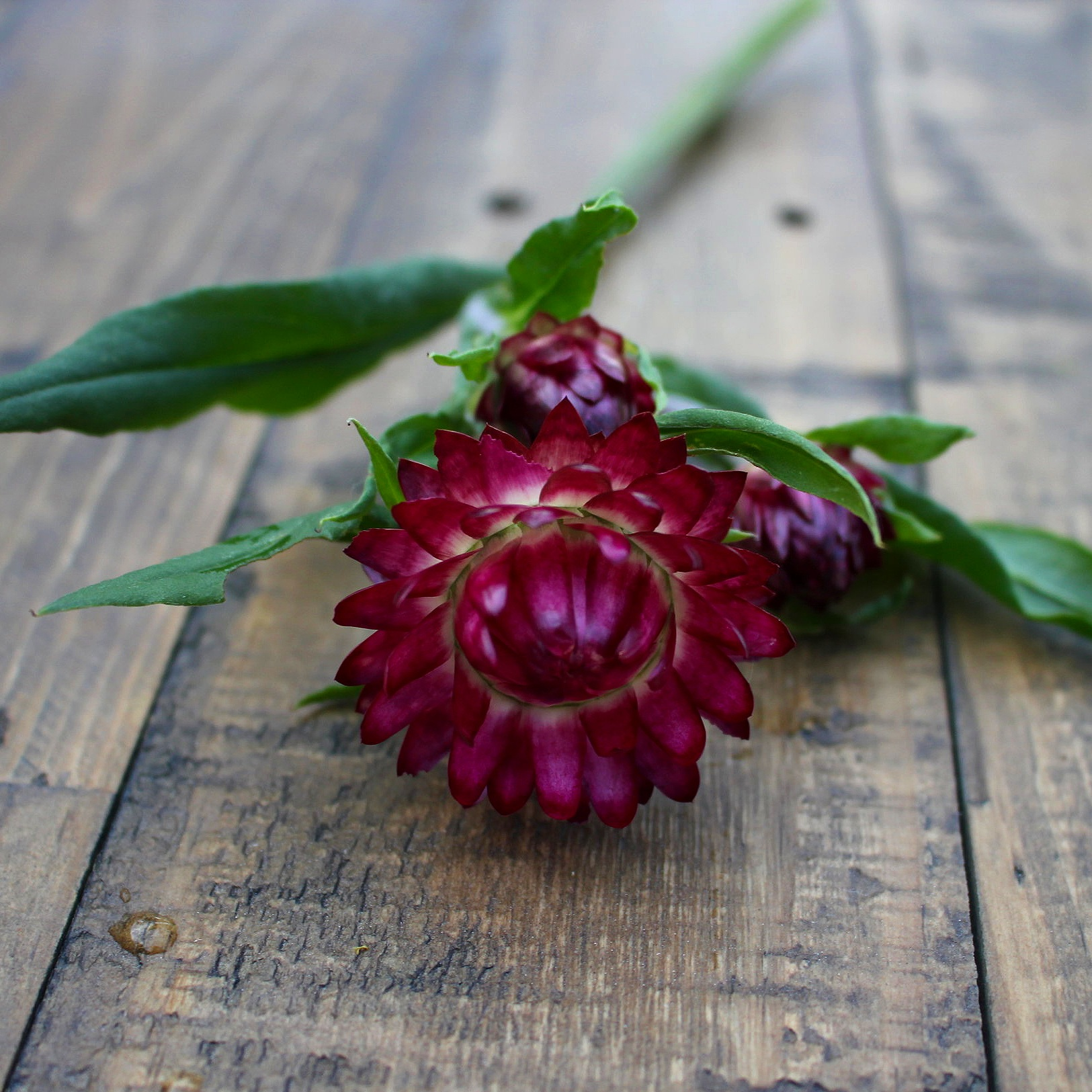 Strawflower, Pomegranate - Now available