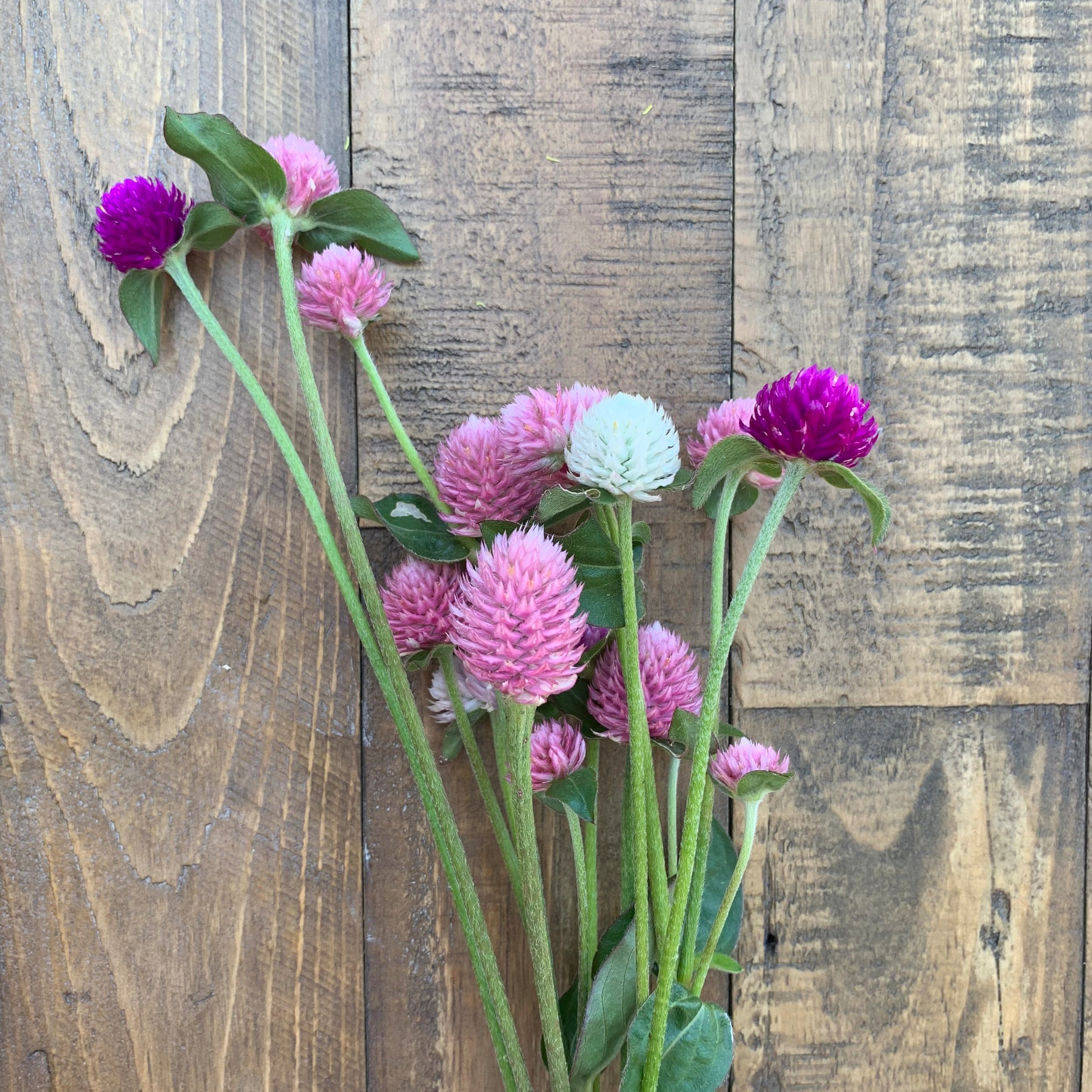 Gomphrena - Now available