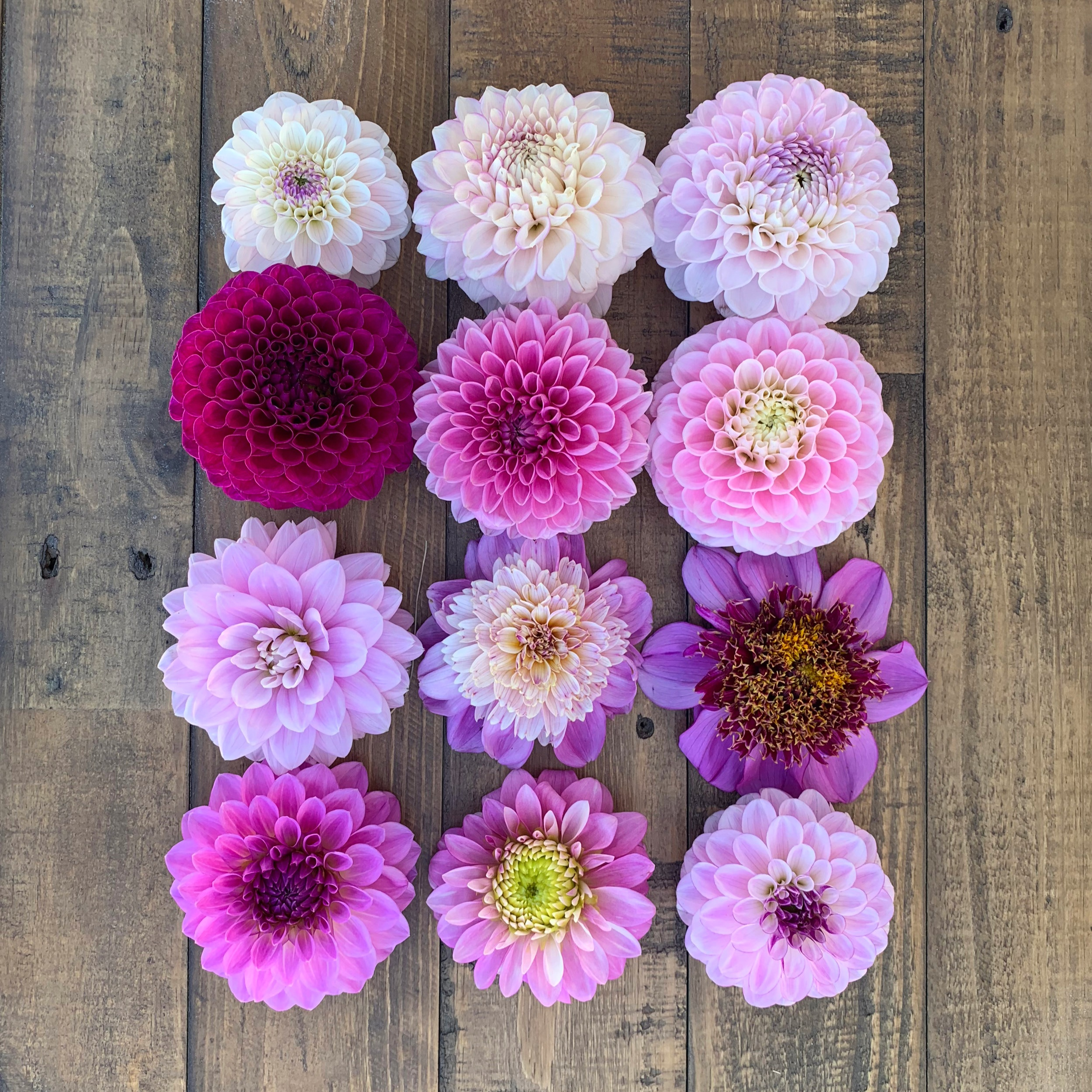 Dahlias, Pink and Lavender - Now available