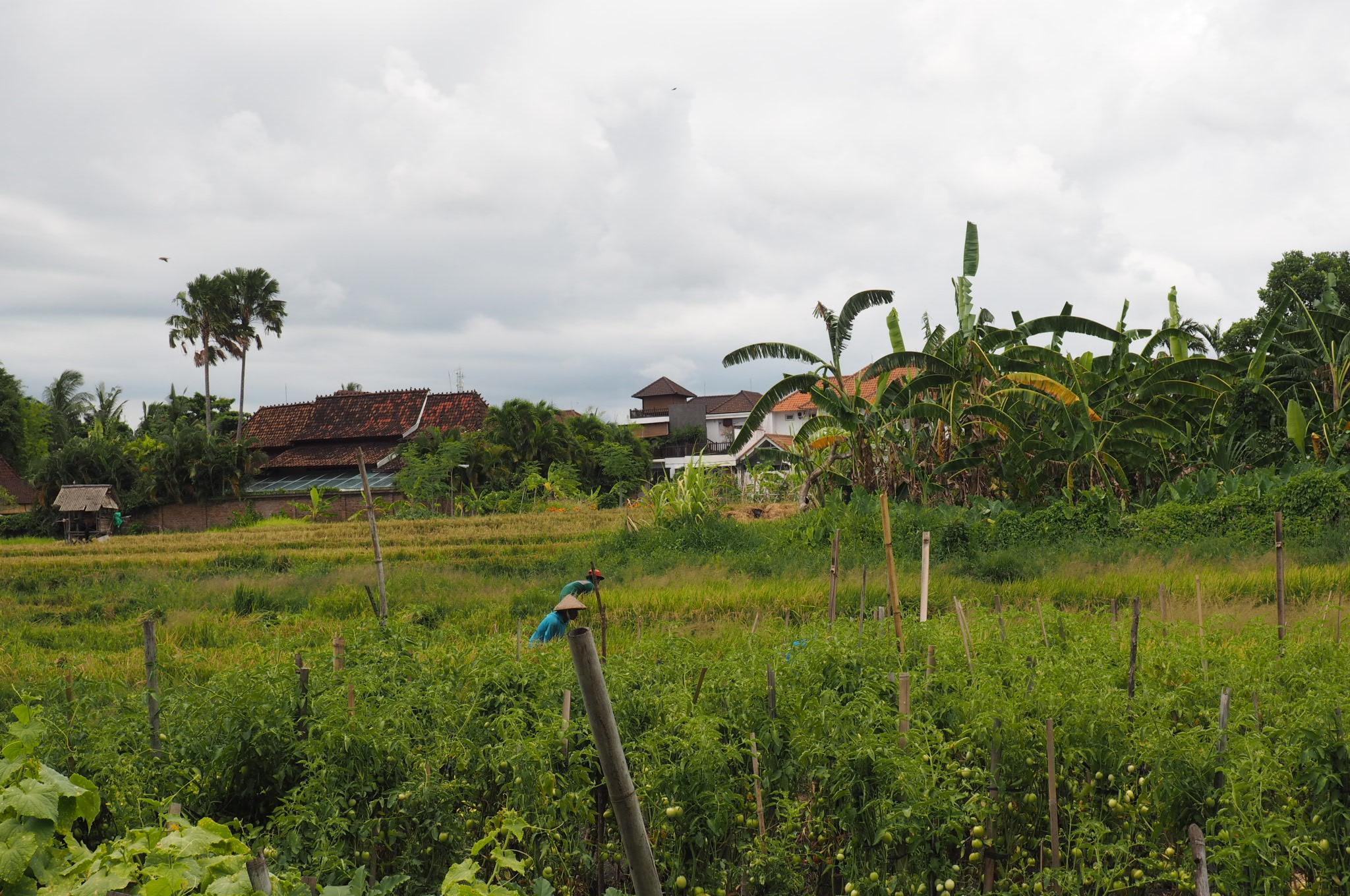 RIce field views in the rainy season