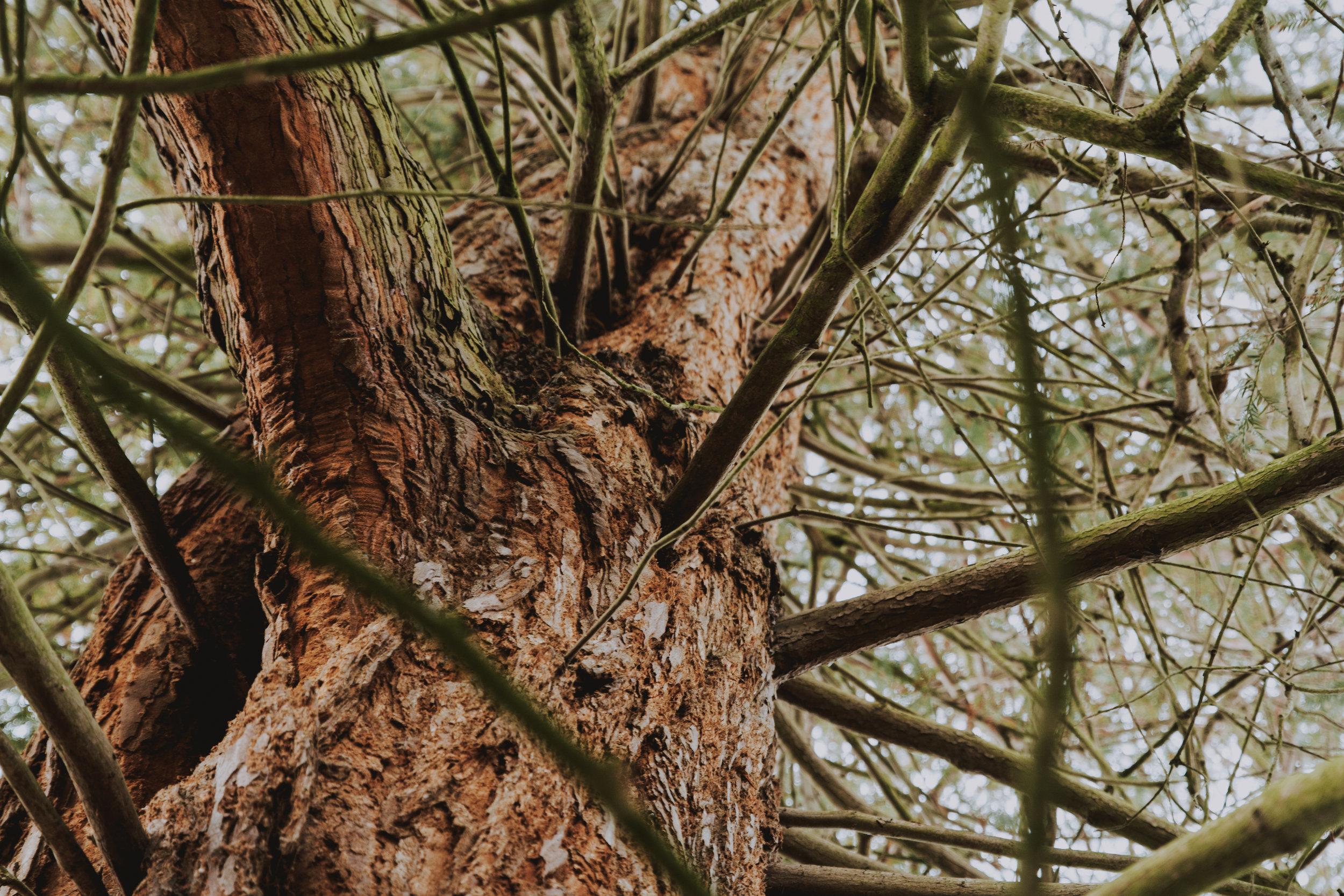 Ness Tree
