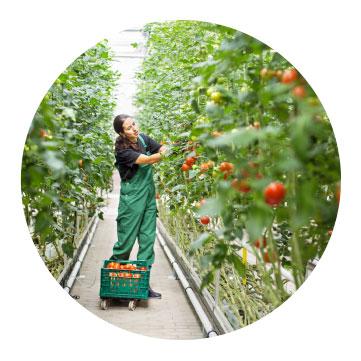 gardener in green house grow room
