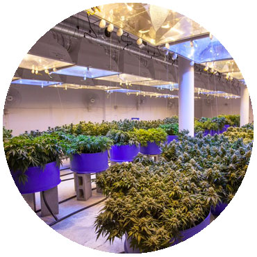 indoors growing environment cannabis