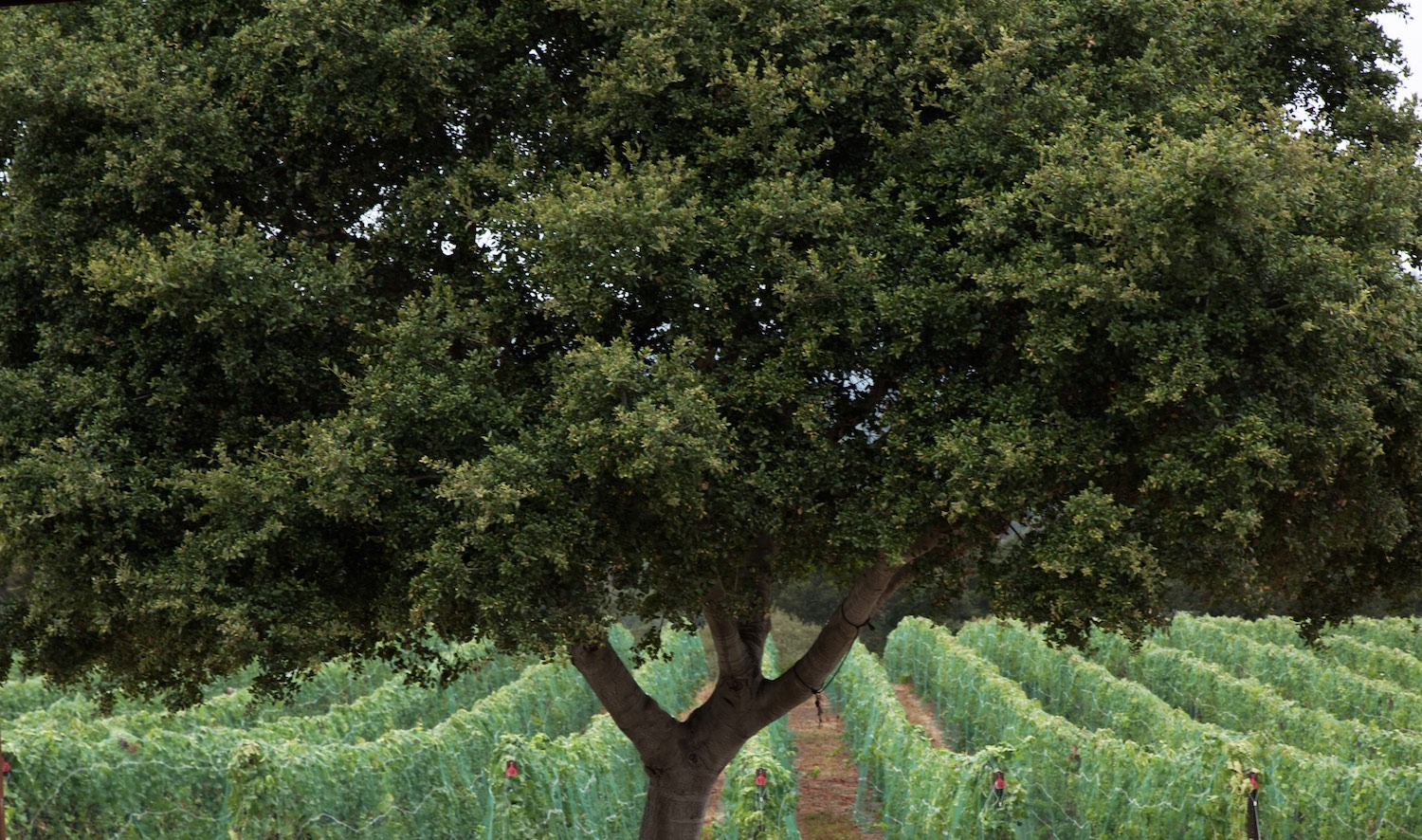 gali-vineyards-tree.jpg