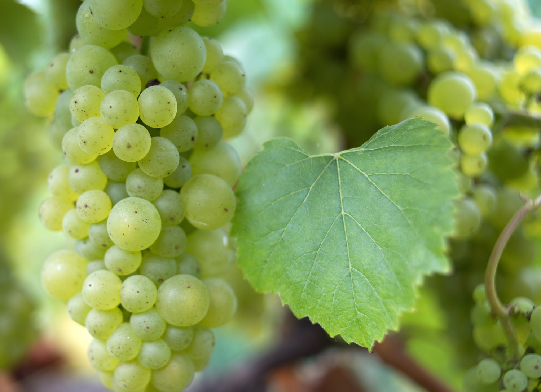 gali-vineyards-chardonnay4.jpg