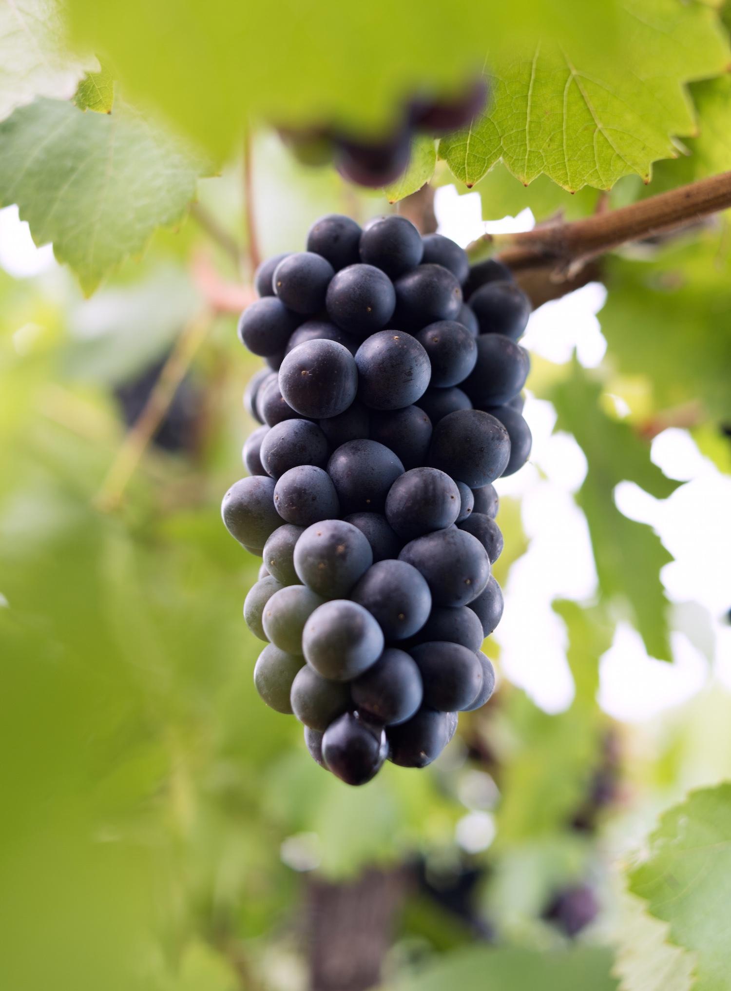 gali-vineyards-grapes6.jpg
