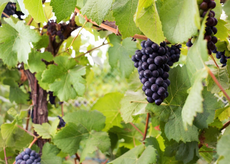 gali-vineyards-grapes4.jpg