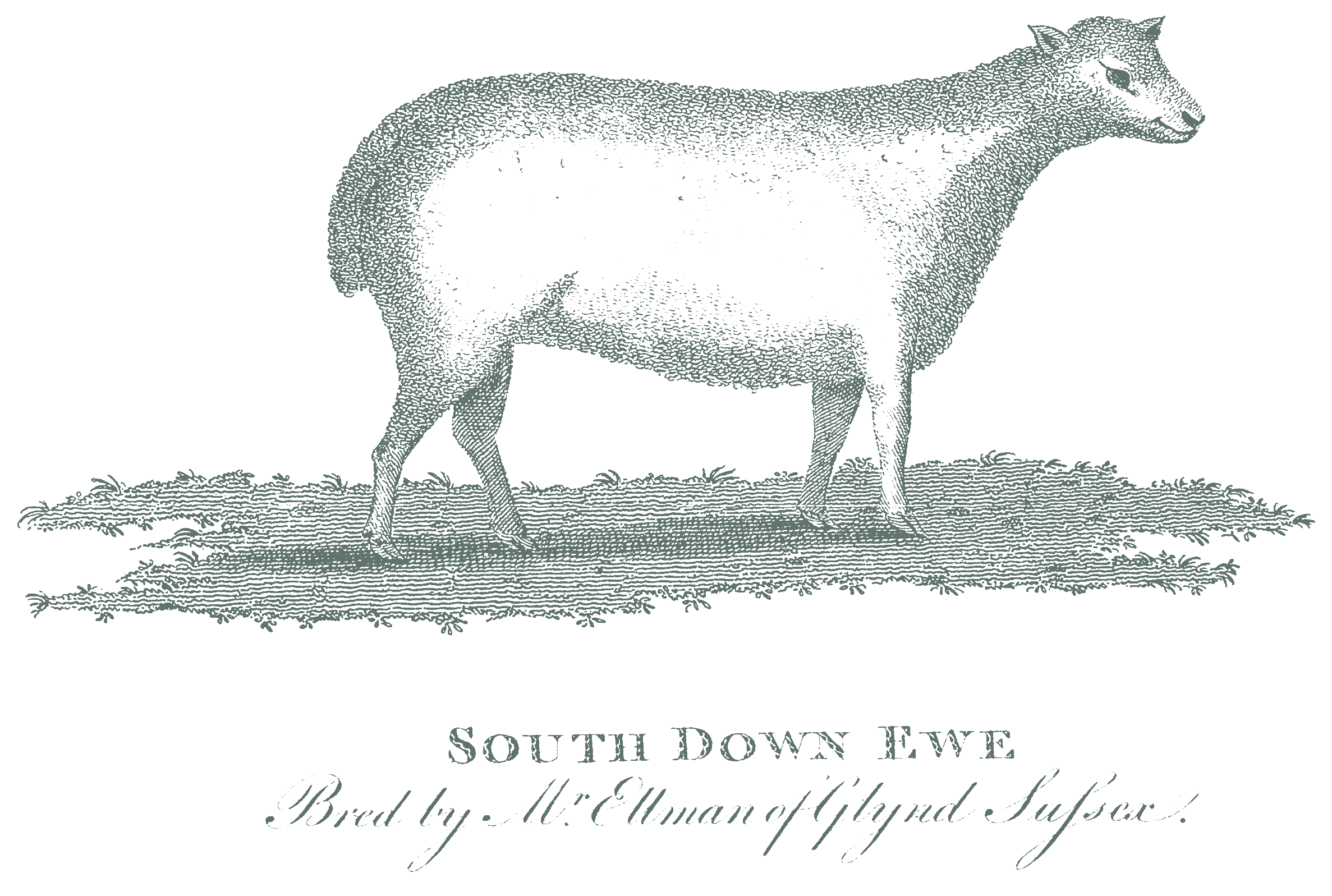 south-downs-sheep.png