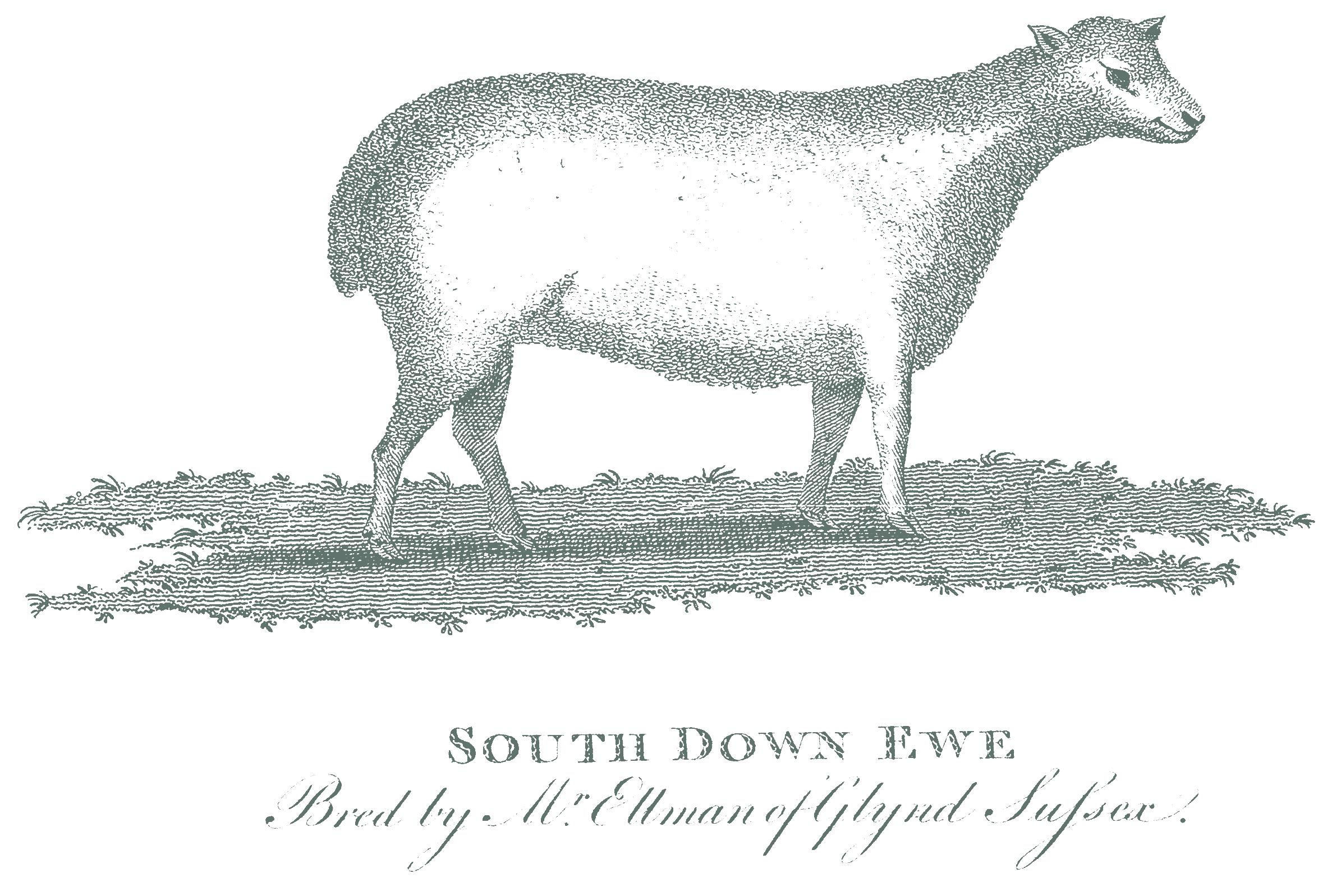 south-downs-sheep.png