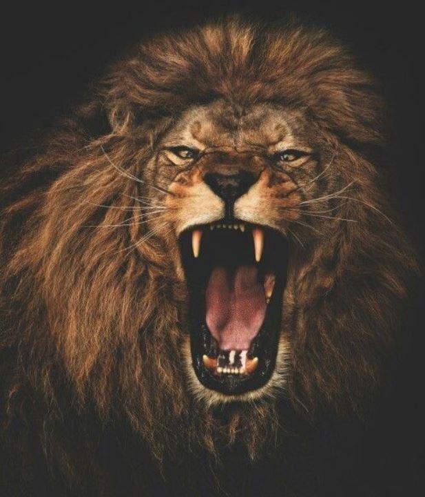 roaring lion 1.JPG