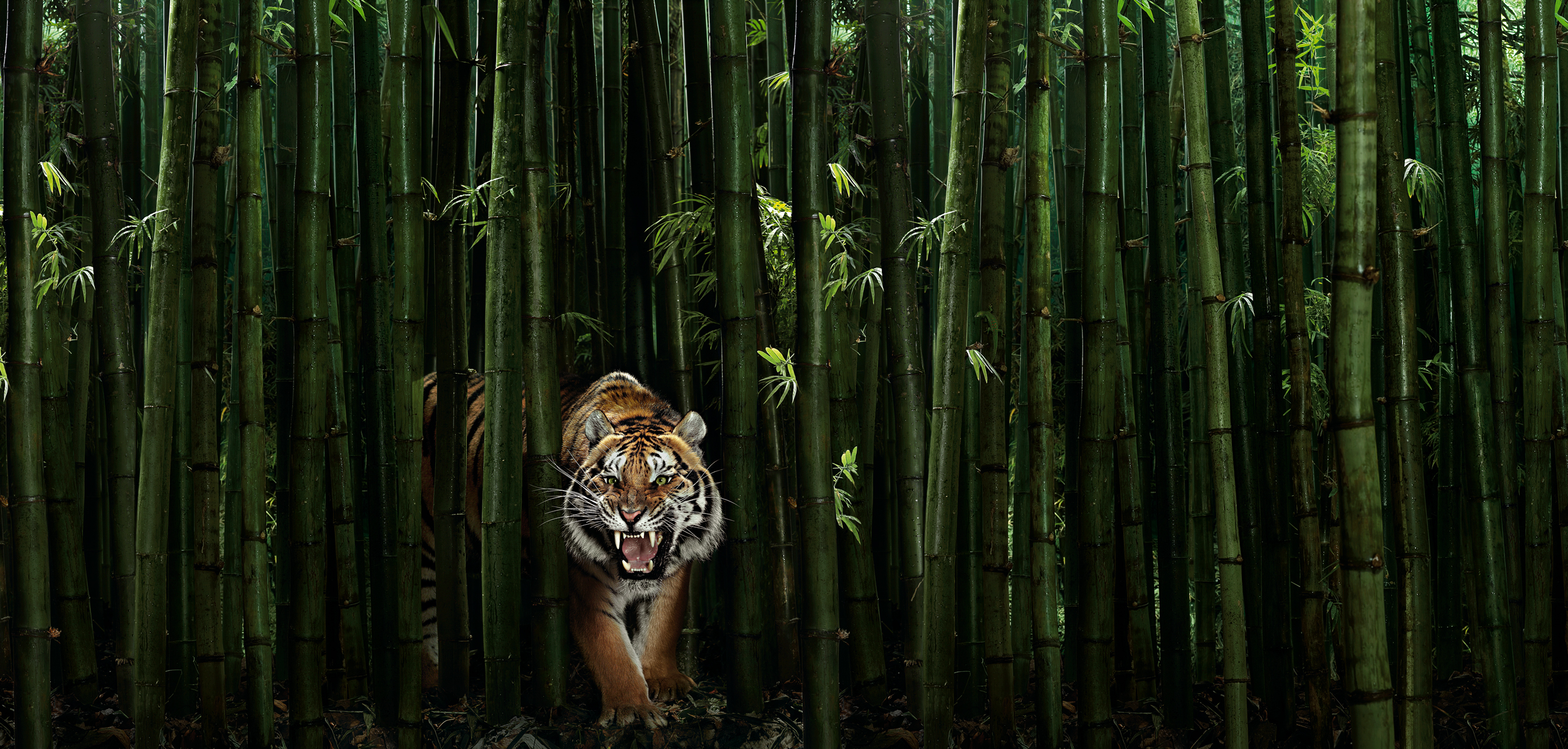 Tierfotograf Zürich Schweiz - Peter Hebeisen Editiorial Pet Tiger #12