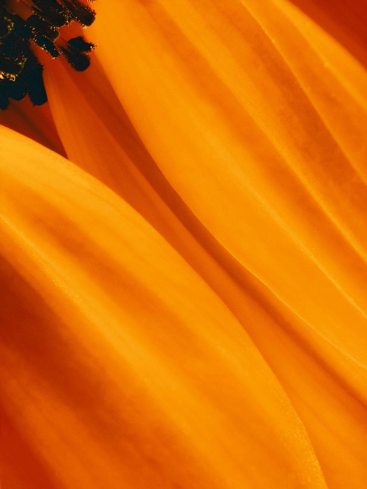 Sunflower (120cm x 160cm)