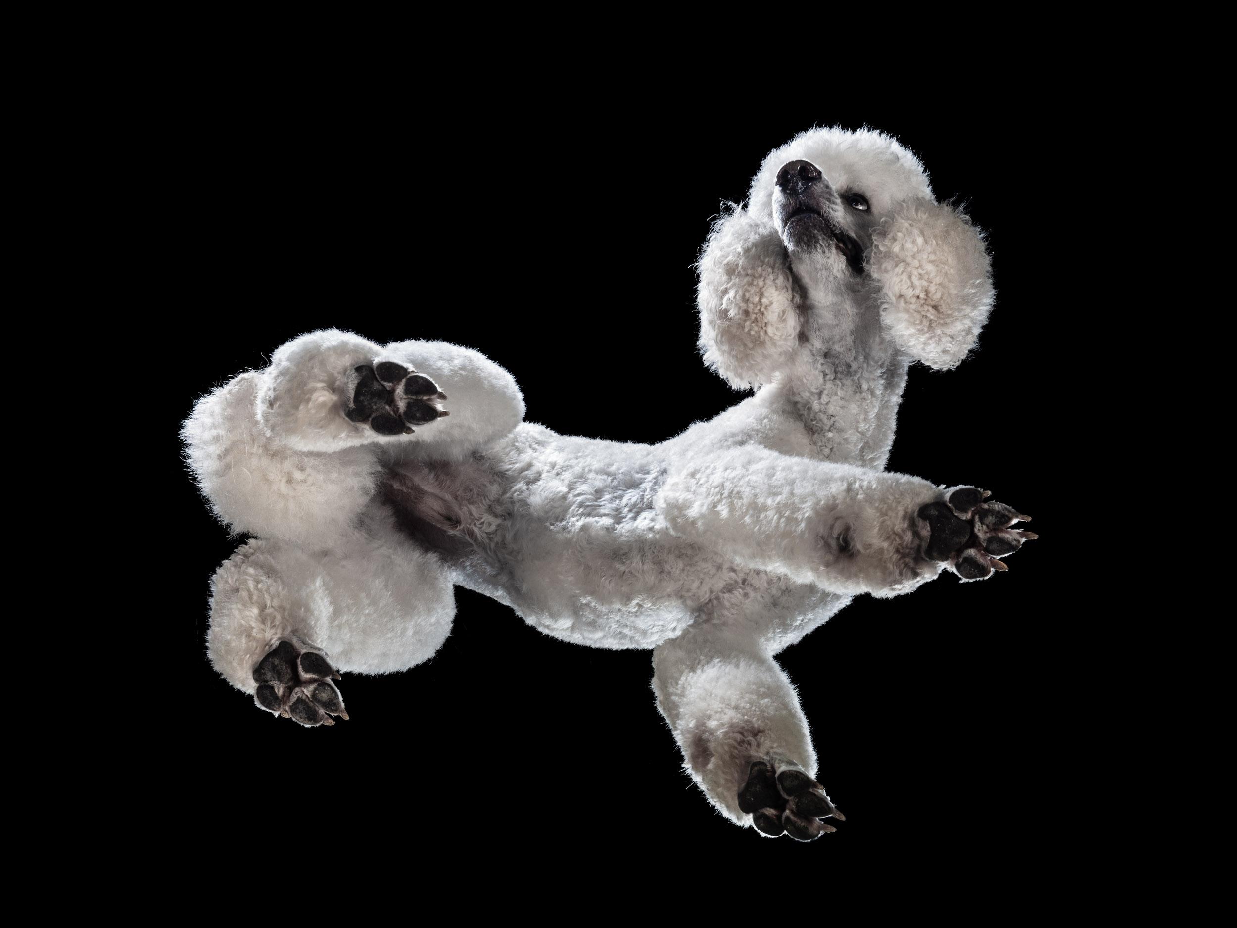 Hund, Pudel