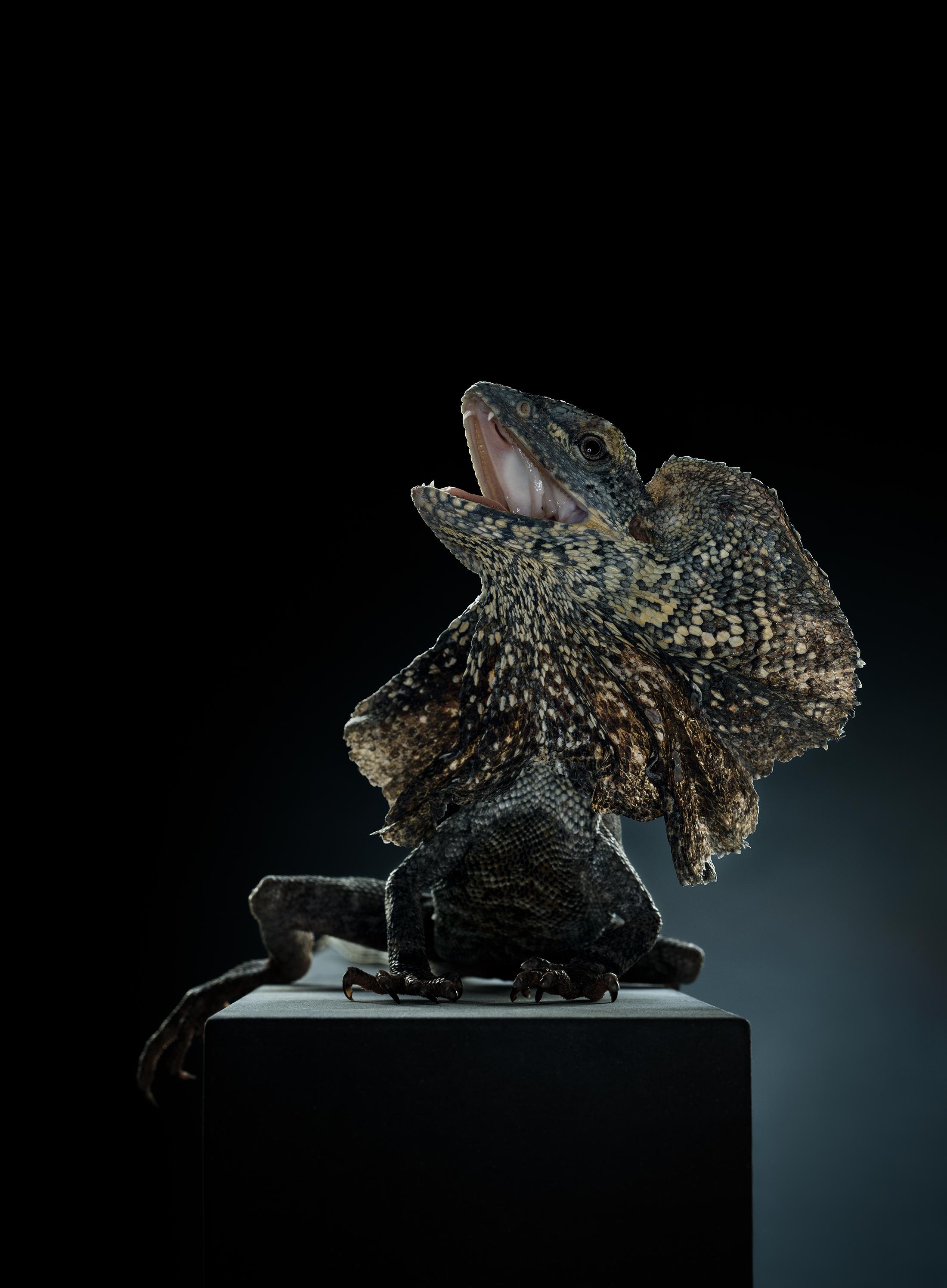 Dragon, (218 cm x 160 cm)