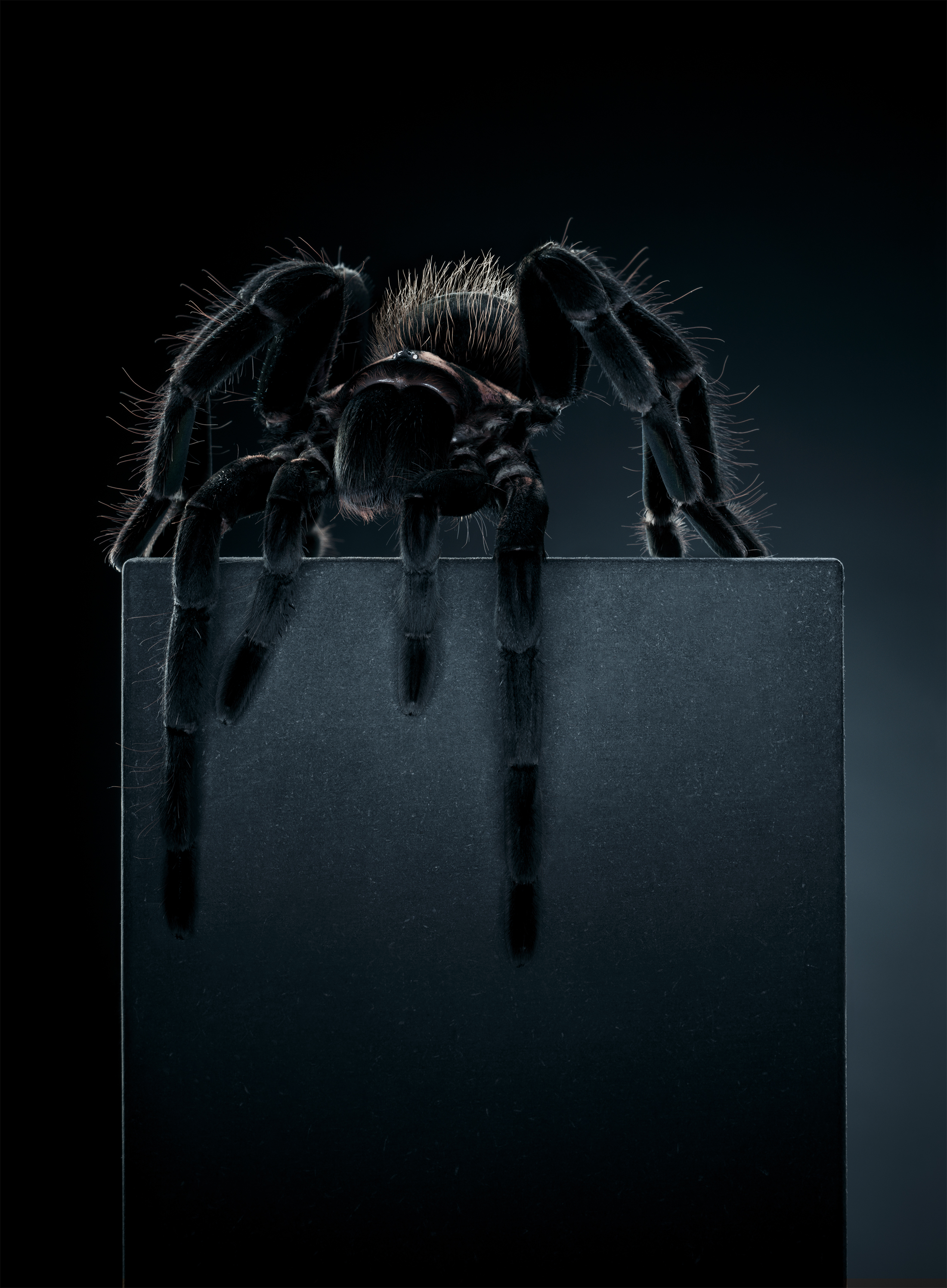 Tarantula,  (218 x 160 cm)
