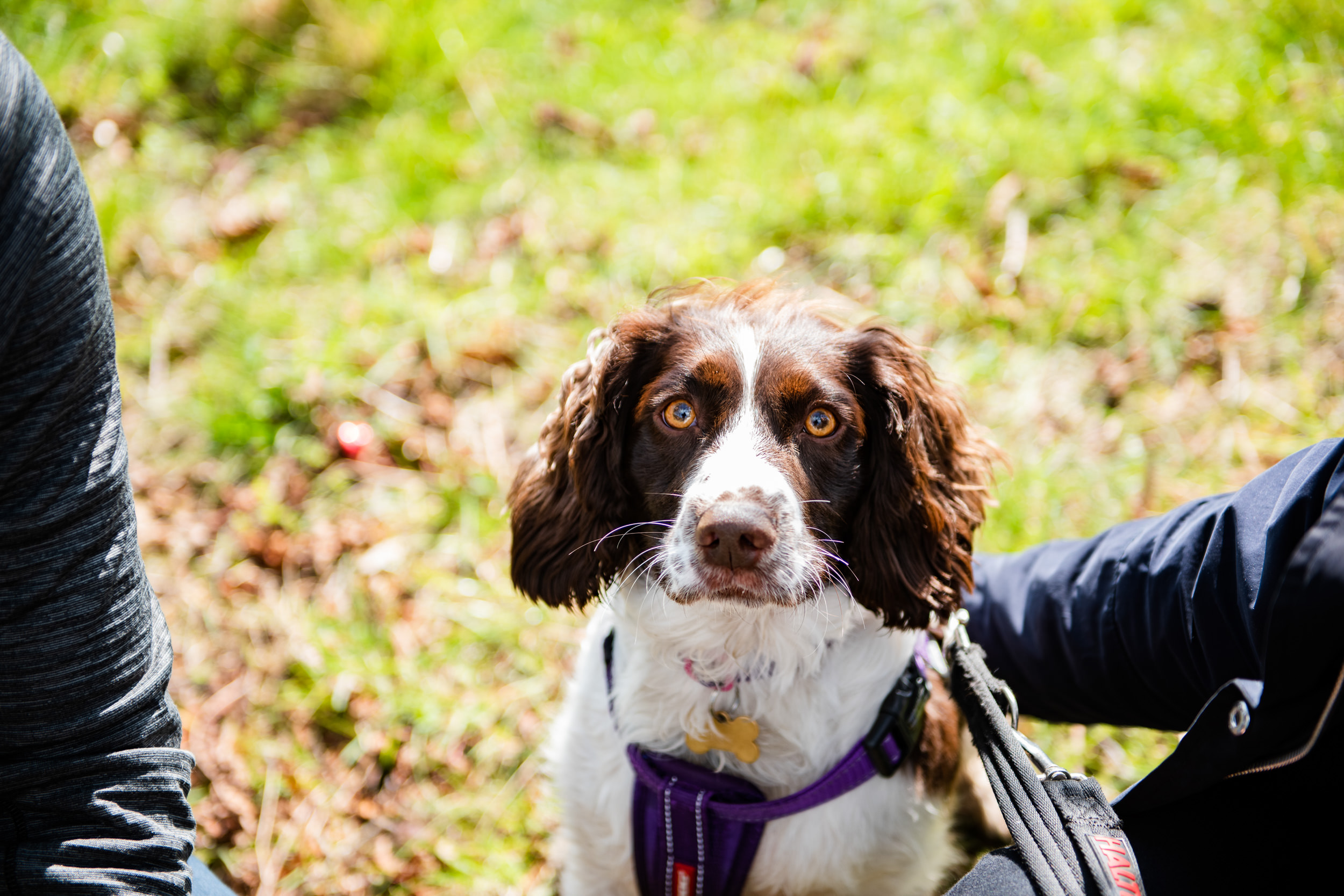 Tan and white Springer Spaniel looking into the camera