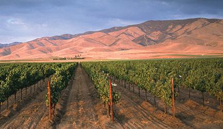 A Carmel Road vineyard in the Salinas Valley, courtesy of Carmel Road