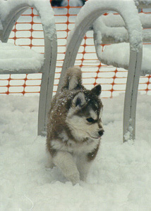 At eight weeks old Mojo's first winter snow.