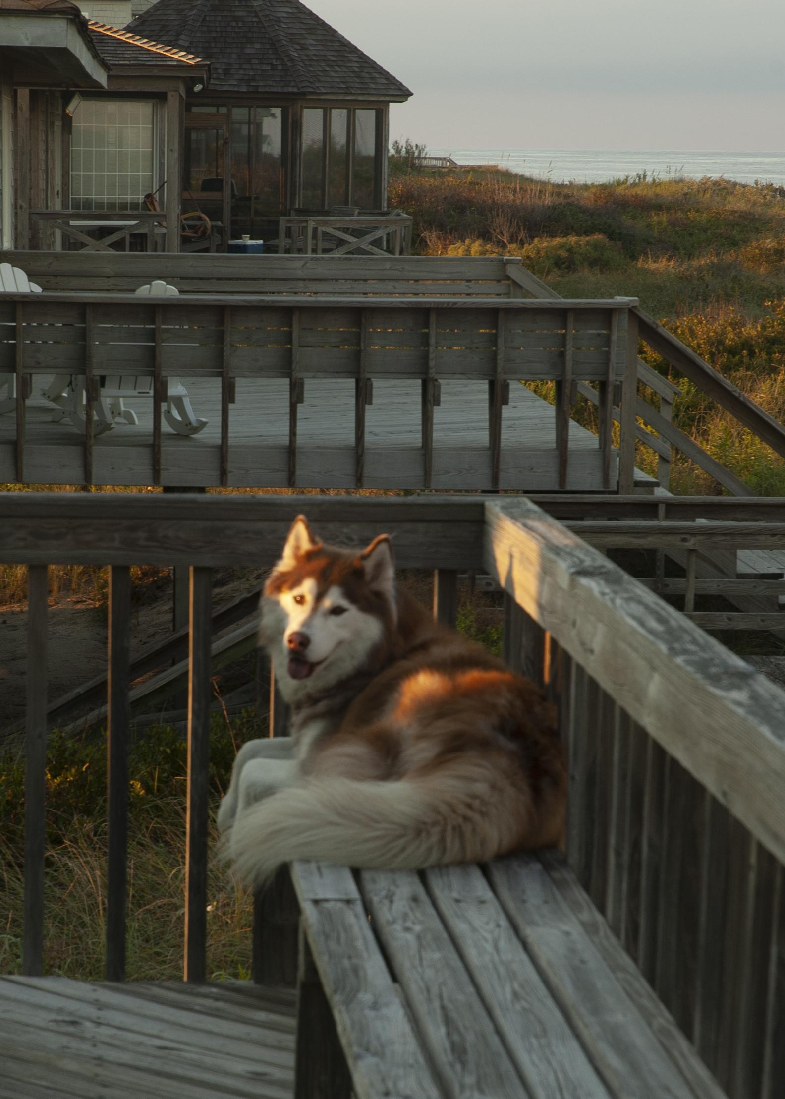 Mojo on his beach deck
