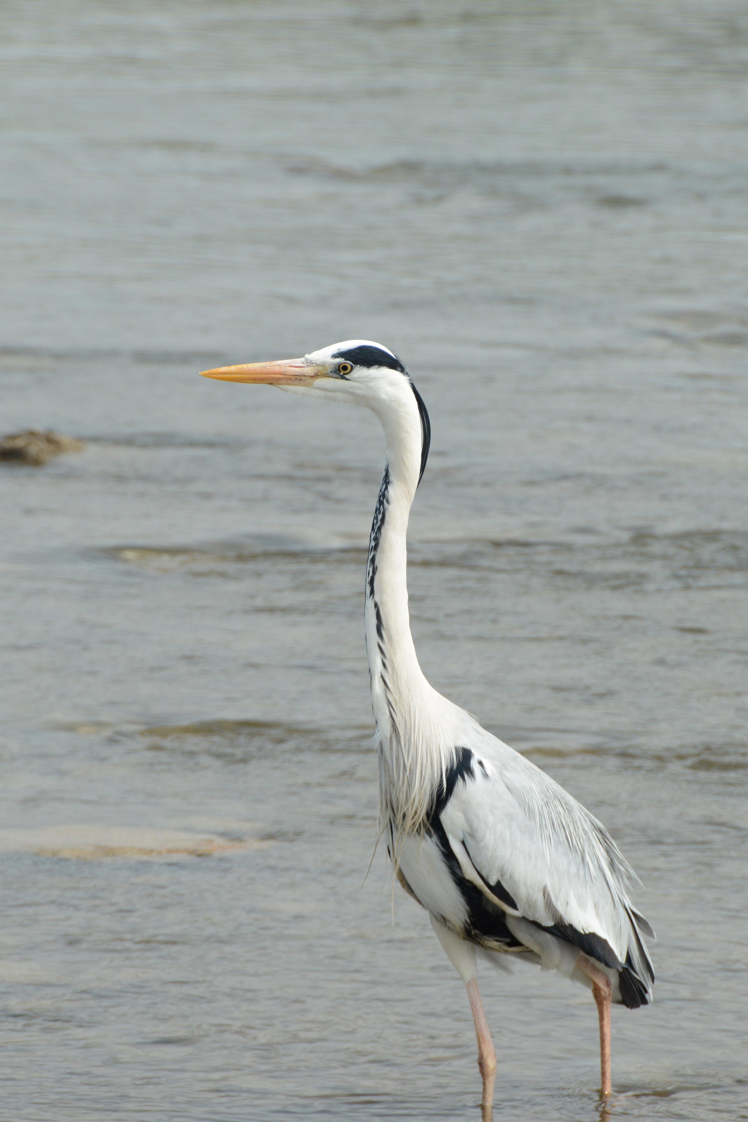 Heron on the Kamo River
