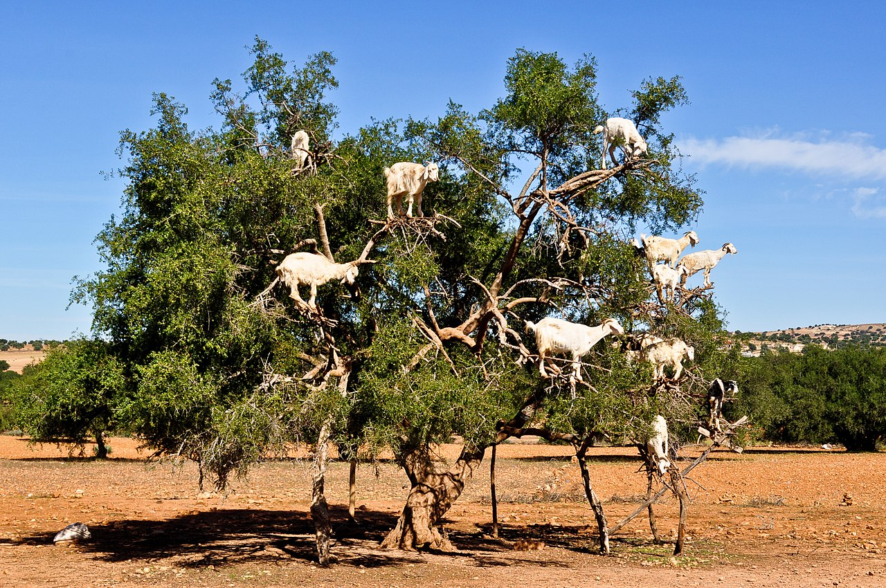 Not actual spidergoats. Just some Moroccan goats in a tree