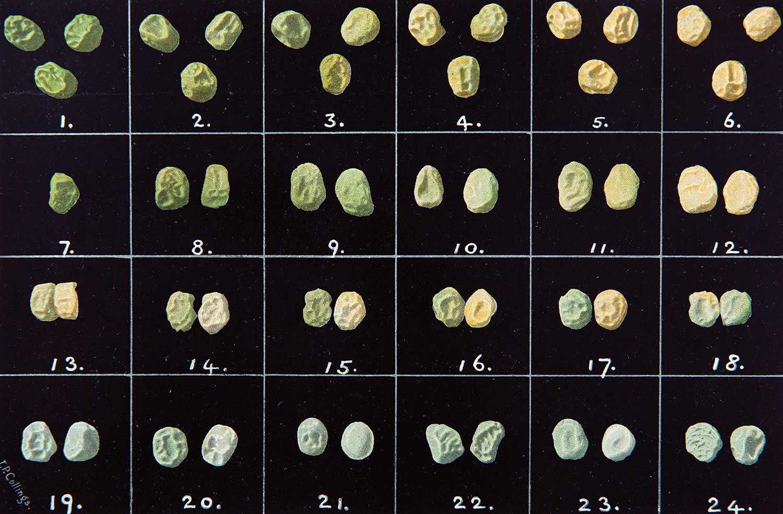 Image of peas from Weldon, W. F. R. 1902. Mendel's laws of alternative inheritance in peas. Biometrika, 1:228-254.