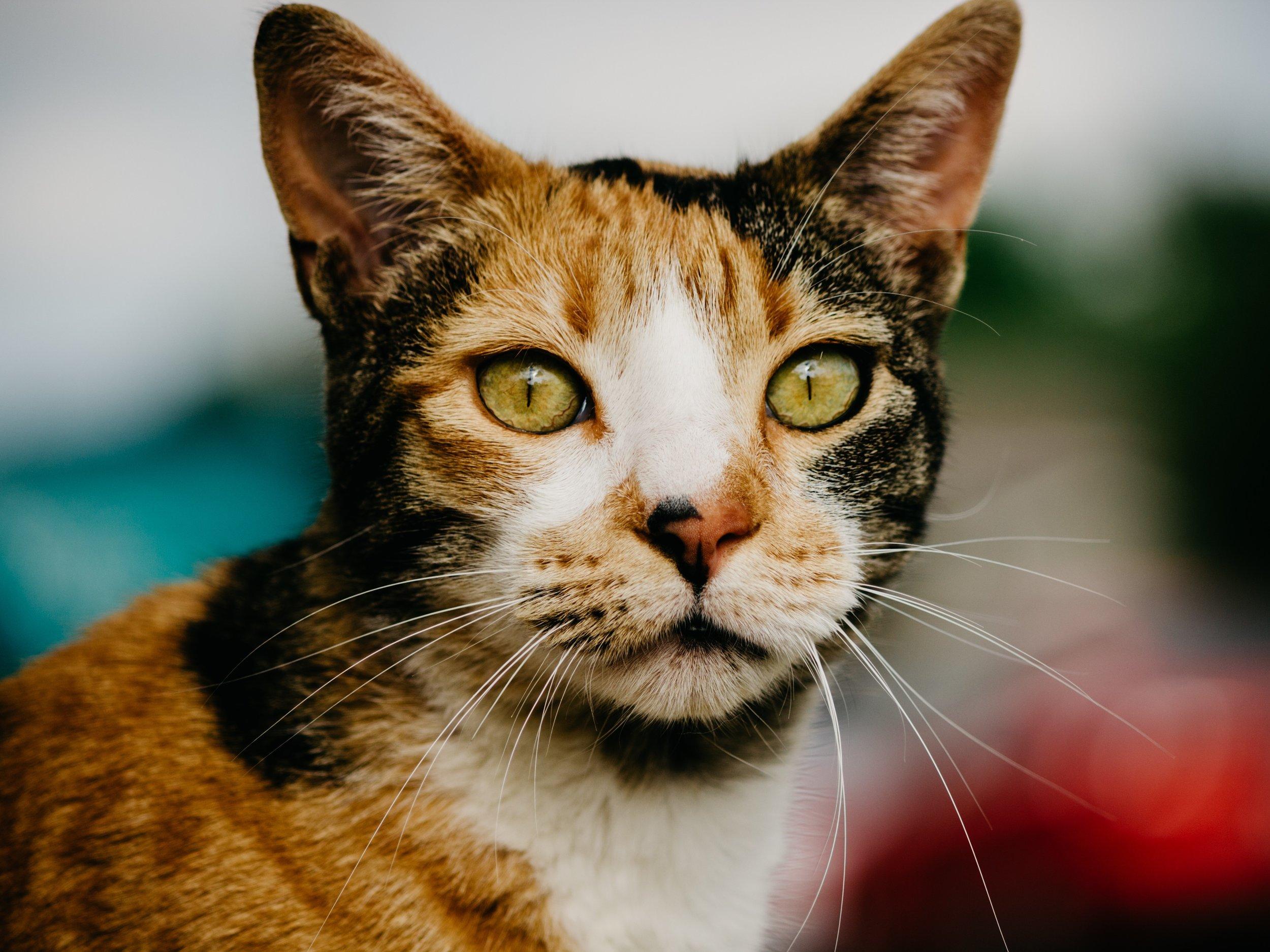 Calico cat 4x3.jpg