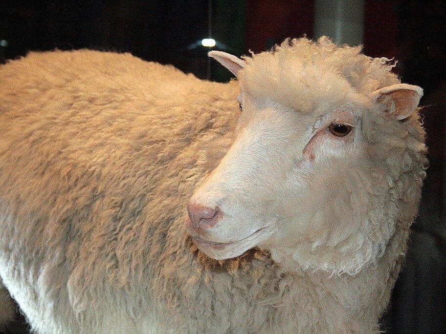 Dolly the Sheep  via Flickr , Toni Barros (CC BY-SA 2.0)