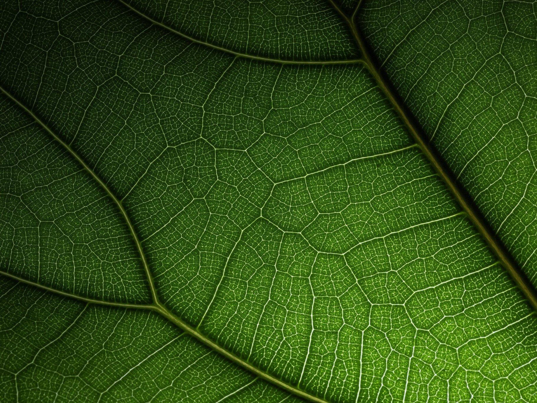 Photo: Jay Howard, Fiddle-Leaf Fig Leaf (Ficus lyrata) (CC BY-NC 2.0)  Via Flickr
