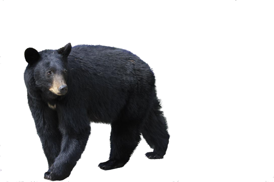 bear_PNG1187.png