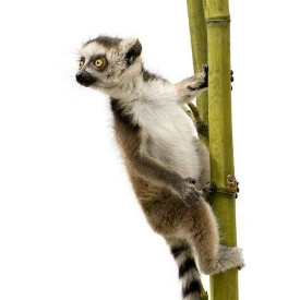 3271732-ring-tailed-lemur-6-weeks-lemur-catta-in-front-of-a-white-background.jpg