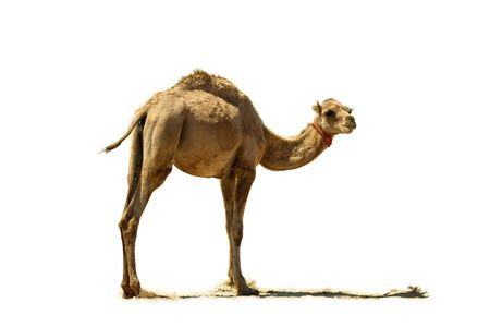 26900506-small-camel-close-up-isolated-on-a-white-background.jpg