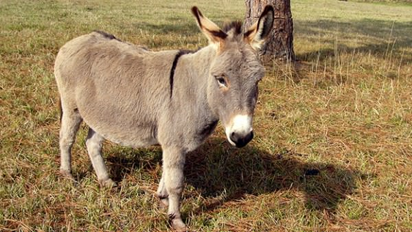 mini-donkey_Kathleen-Conklin-Flickr-600x338.jpg