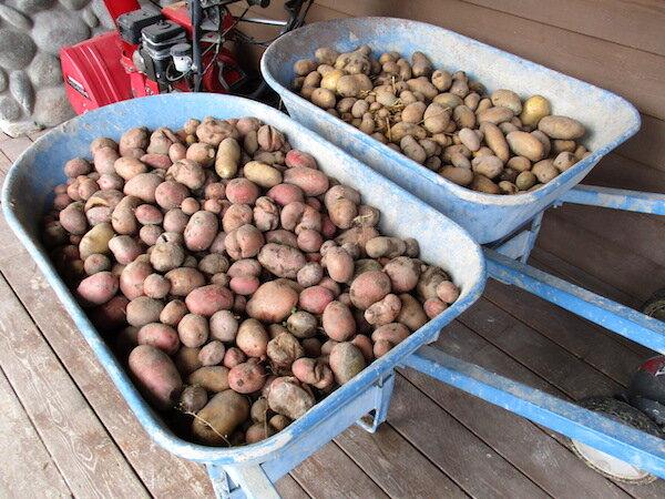 Potatoes2019.jpg