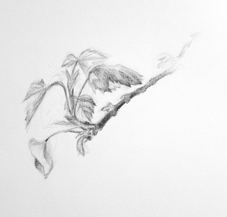 Budding Leaves Drawing