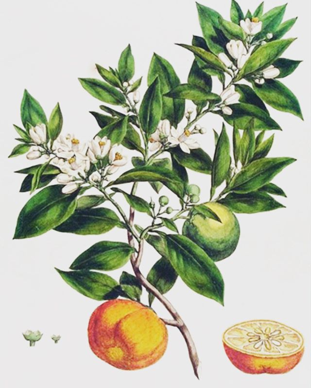 "Sundara K is ""Fragrance Free"" means that is does not have any added chemical fragrance or perfume. Our serum has an aroma from Neroli oil. It is thought to treat oily skin, reduce signs of ageing and diminish the appearance of scars due to its ability to revive skin at a cellular level. #neroli #luxurycbdskincare #luxurycbd #faceoil #sundarakbeauty #plantbaseskincare"