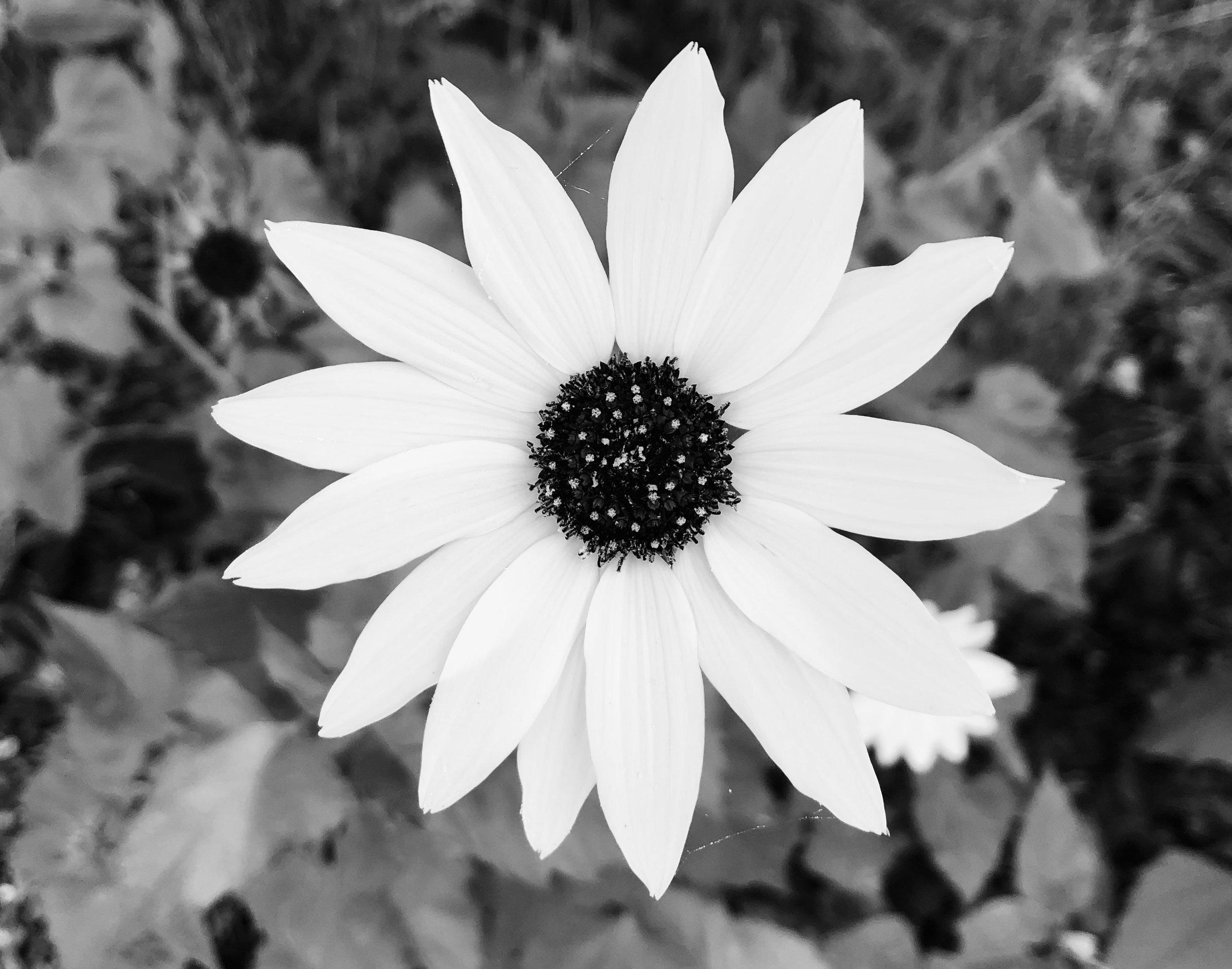 Texas Sunflower BW.jpg