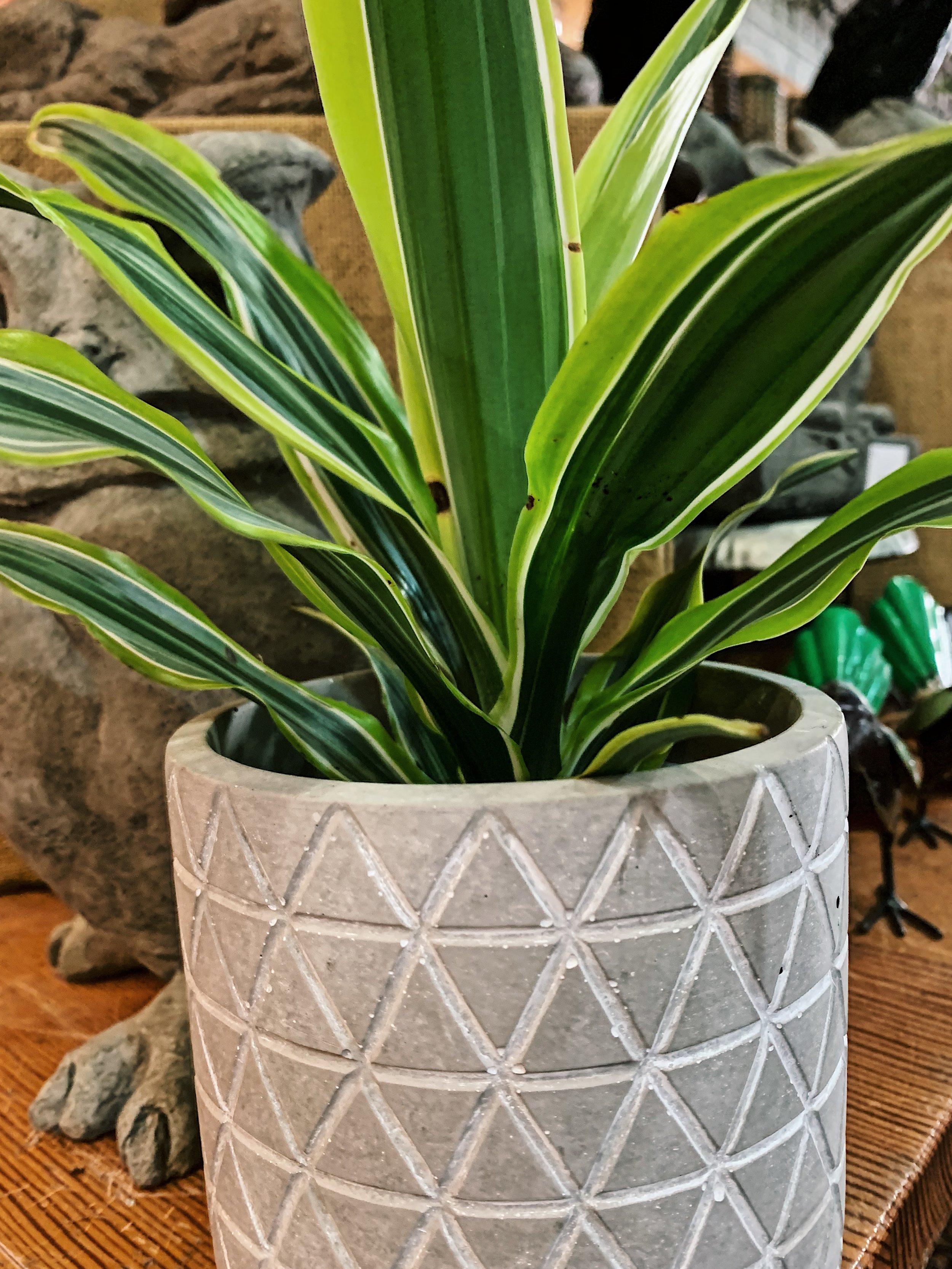 Dracaena Plant.jpeg
