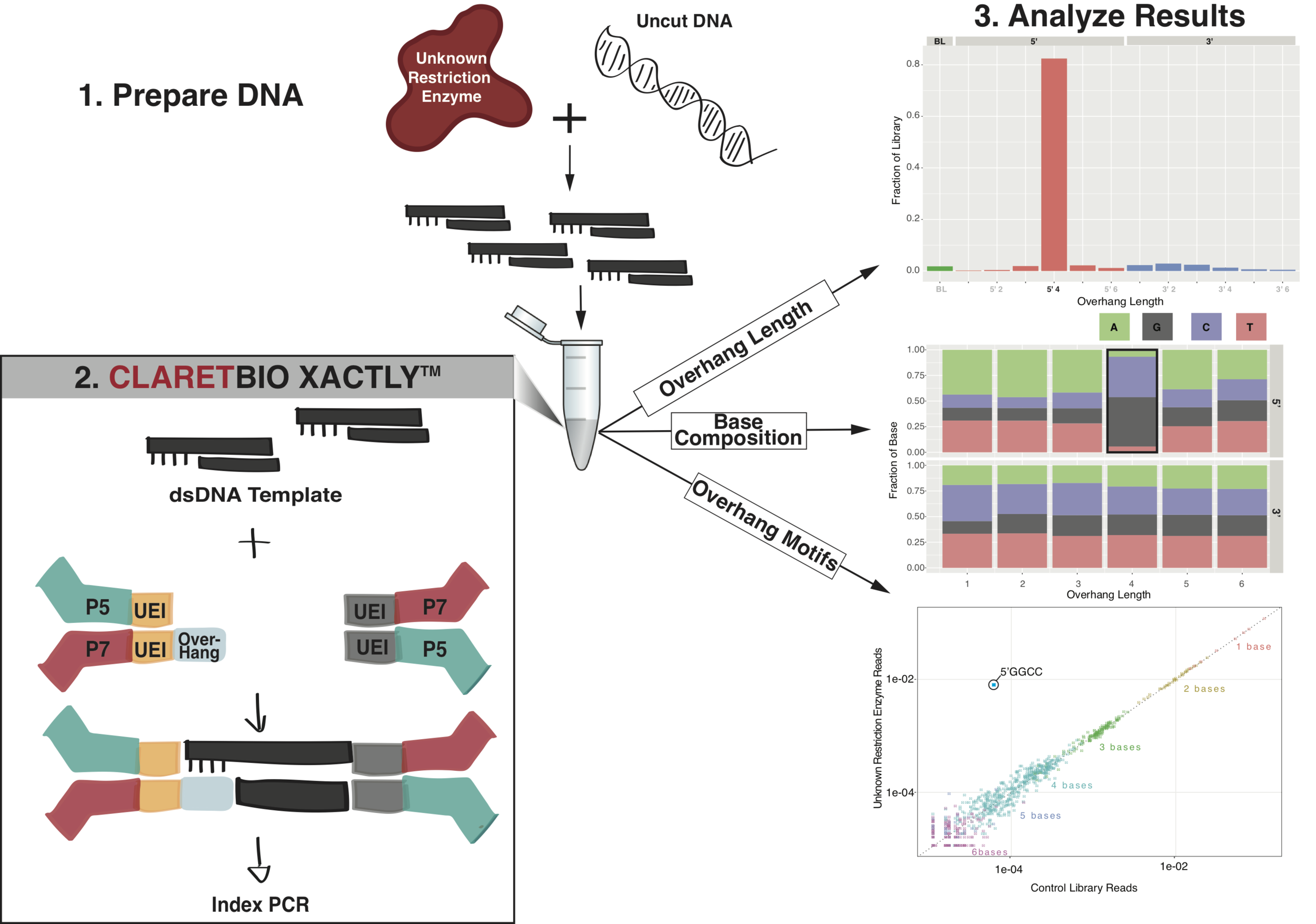 In this illustrated example we elucidate the cut site left by an uncharacterized restriction enzyme using XACTLY. HMW DNA is first digested with the restriction enzyme and then used as input into XACTLY. After the XACTLY protocol the library is sequenced and the data is analyzed with respect to their overhangs. The results show a high prevalence of reads contain 5´ 4 bp overhangs with a predominant base composition of roughly equal proportion of Guanine and Cytosine at the 5´ 4 bp overhang. Further analysis of the overhang motifs revel the 5´ 4 bp cut site to be GGCC.