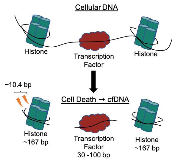 cfDNA model2.png