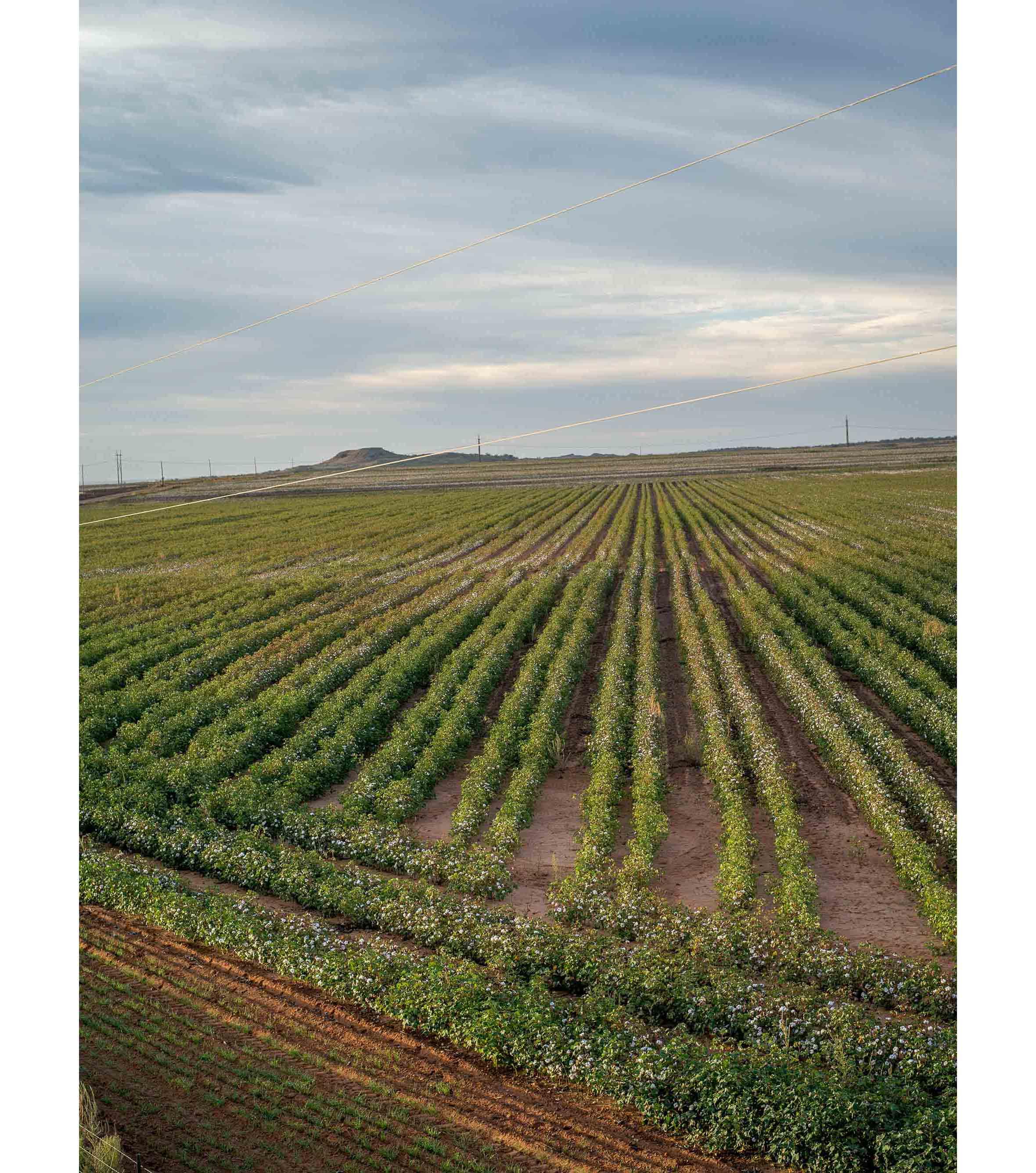 Cottonfields05.jpg